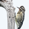 Pic maculé.   Commun, printemps-automne.  Nicheur _  Yellow-bellied Sapsucker.  Common, spring-fall.  Breeds.