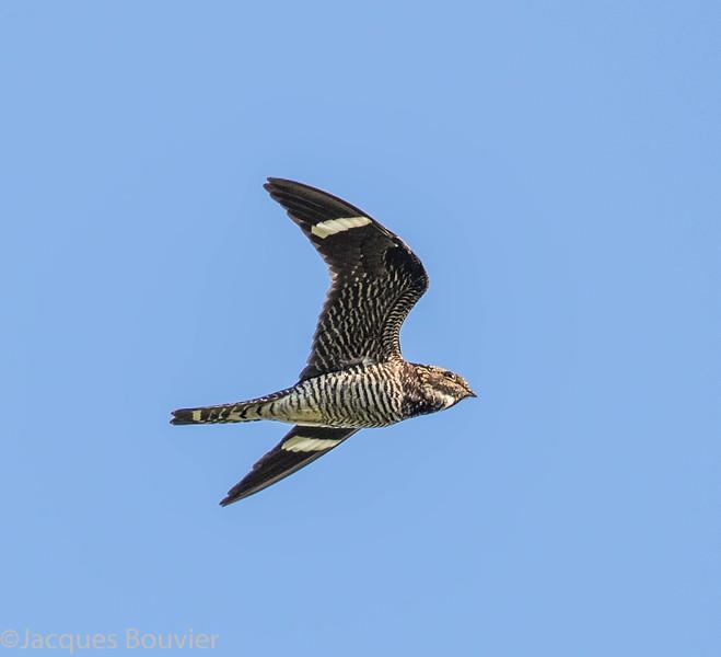 Engoulevent d'Amérique.  Rare, printemps-automne.  Nicheur possible _  Common Nighthawk.   Rare, spring-fall.  Possibly breeds.