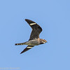 Engoulevent d'Amérique.  Rare, printemps-automne.  Nicheur possible _  Common Nighthawk.   Rare, spring-fall.  Possibly breeds.