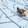 Gélinotte huppée.  Peu commun, toute l'année.  Nicheur -  Ruffed Grouse.  Uncommon, all year.  Breeds.