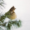 Gélinotte huppée, d'une diapositive, date inconnue. <br /> <br /> Peu commun, toute l'année.  Nicheur.<br /> <br /> Ruffed Grouse, from a slide, date unknown.  <br /> <br /> Common, all year.  Breeds.