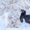 Dindon sauvage.  Peu commun, toute l'année.  Nicheur. _  Wild Turkey.  Uncommon, all year.  Breeds.