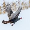 Dindon sauvage ici préfère voler au lieu de courir sur la croute de glace glissante recouvrant un champs près de Fournier le 23 décembre 2013. <br /> <br /> Peu commun, toute l'année. Nicheur.<br /> <br /> This Wild Turkey here prefers to fly rather than escape by running on a slippery ice-covered field in Fournier on 23 December 2013.<br /> <br /> Uncommon, all year. Breeds.