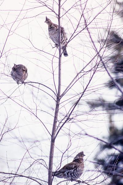 Gélinottes huppées adultes se nourrissant de bourgeons dans la forêt Larose le 17 mars 2013. <br /> <br /> Peu commun, toute l'année.  Nicheur.<br /> <br /> <br /> Adult Ruffed Grouse feeding on tree buds in Larose forest on 17 March 2013.<br /> <br /> Uncommon, all year.  Breeds.