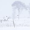 Perdrix grises près de St-Bernardin le 28 février 2013; de petits groupes de celles-ci fréquentent les terrains découverts  durant l'hiver.<br /> <br /> Peu commun durant toute l'année. Nicheur.<br /> <br /> Gray Partridges near St-Bernardin on 28 February 2013; partridges frequent open areas in small groups during the winter.<br /> <br /> Uncommon all year. Breeds.