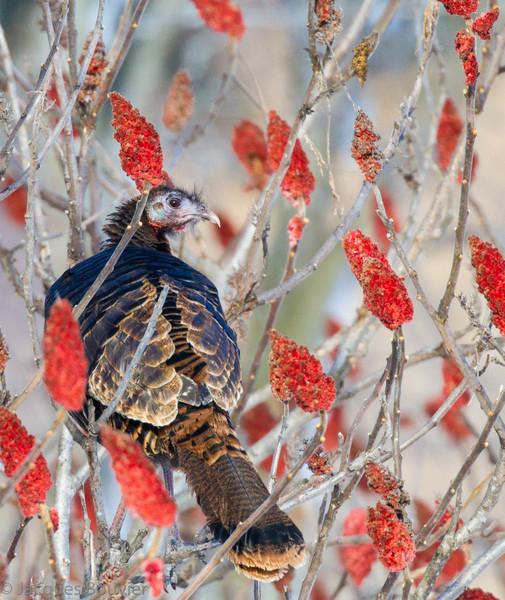 Dindon sauvage dans les comtés unis de Prescott et Russell dépend du maîs au sol  pour survivre l'hiver.  Quand le maîs est recouvert d'une épaisse couche de neige (hiver 2012-2013) cette nourriture n'est plus accessible et il doit trouver d'autres sources d'aliments tels les fruits de ce sumac vinaigrier le 5 janvier 2013.<br />  <br /> Peu commun, toute l'année.  Nicheur.<br /> <br />  <br /> To survive the winter, Wild Turkeys in Prescott-Russell counties depend on waste corn in fields.  When deep snow covers this corn, the Wild Turkey must find alternate food sources such as this Staghorn Sumach it was eating  on 5 January 2013. <br /> <br /> Uncommon, all year.  Breeds.