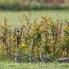 Perdrix grise.  Peu commun durant toute l'année.  Nicheur - Gray Partridge.  Uncommon all year.  Breeds.