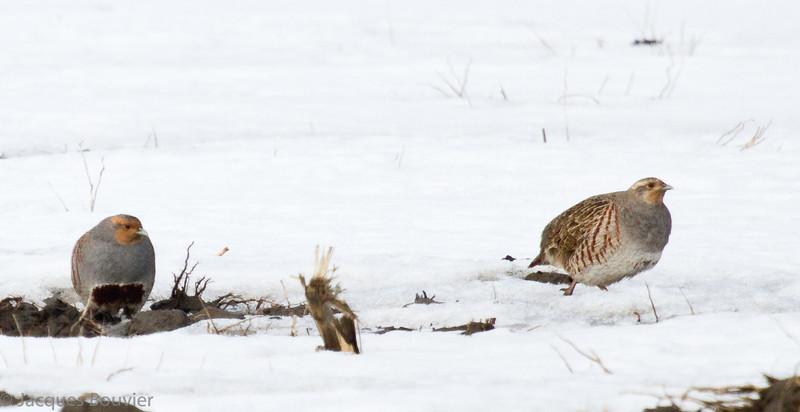 Perdrix grise adulte, mâle (gauche) et femelle (droite) à St-Isidore le 22 février 2012.  <br /> Peu commun durant toute l'année.  Nicheur.<br /> <br /> Adult male (left) and female (right) Gray Partridge at St-Isidore on 22 February 2012.  <br /> Uncommon all year.  Breeds.