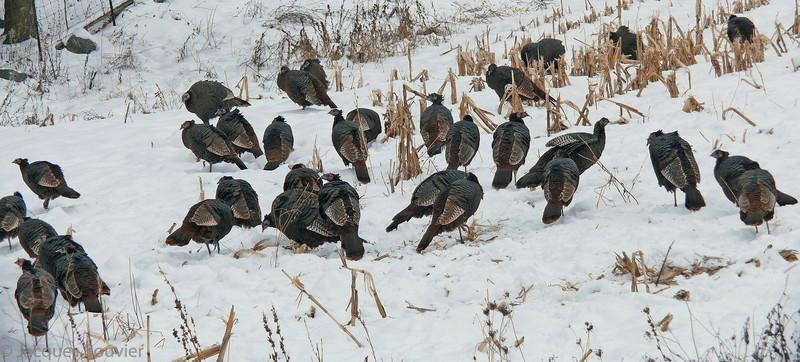 Dindon sauvage dans les comtés unis de Prescott et Russell dépend des champs de maïs pour obtenir sa nourriture l'hiver.<br /> <br /> Peu commun, toute l'année.  Nicheur.<br /> <br /> <br /> Wild Turkeys in Prescott-Russell counties depend on corn in fields to survive the winter.<br /> <br /> Uncommon, all year.  Breeds.