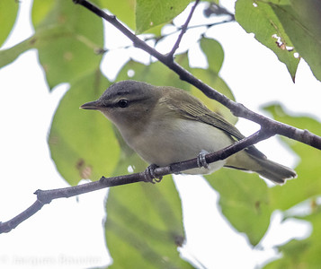 Red-eyed Vireo - Viréo aux yeux rouge