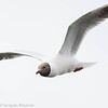 Mouette rieuse.  Extrêmement rare, automne _ Black-headed Gull.  Extremely rare in fall.