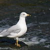 Goéland à bec cerclé 2012.  Commun, printemps-automne.  Rare l'hiver.  Nicheur  _ Ring-billed Gull.  Common, spring-fall.  Rare in winter.  Breeds.