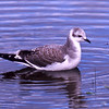 Mouette de Sabine juvénile sur la rivière des Outaouais à Deep River le 10 octobre 1987.  Très rare, automne-printemps. <br /> <br /> Ma seule observation dans le cercle de miroise est d'un individu vu le 6 septembre 1994 sur la rivière des Outaouais au coin des rues Main et Tupper à Hawkesbury.<br /> <br /> A juvenile Sabine's Gull on the Ottawa River in Deep River on 10 October 1987.  Very rare, fall-spring.<br /> <br /> My only record of this species in our birding circle is of one individual seen on 6 September 1994 on the Ottawa river at the corner of Main and Tupper streets in Hawkesbury.