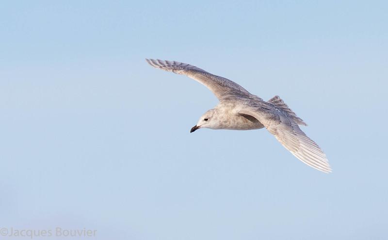 Goéland arctique.  Peu commun, automne au printemps _ Iceland Gull.  Uncommon, fall to spring.