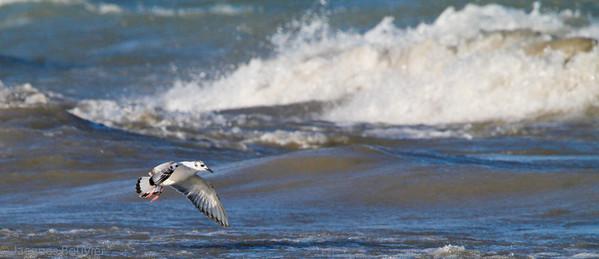 Waterbirds 2 (Flying) - Les oiseaux aquatiques 2 (Qui volent)