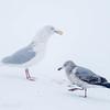 Goéland bourgmestre. Peu commun, automne au printemps _   Glaucous Gull. Uncommon, fall to spring.