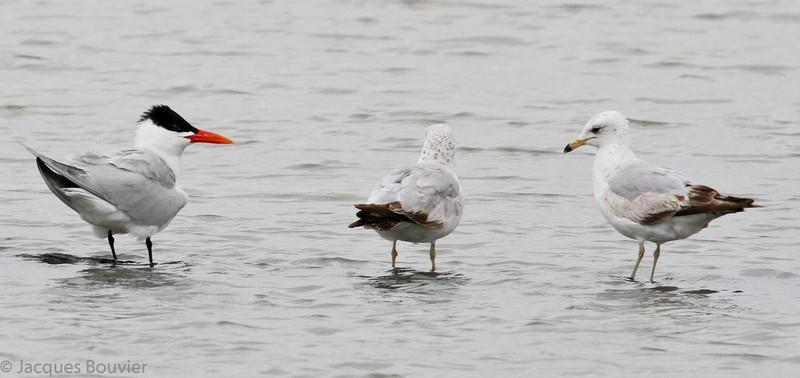 Sterne caspienne (gauche) avec deux Goélands à bec cerclé près de Holiday Beach le 12 mai 2010.  Rare, printemps-automne.<br /> <br /> Caspian Tern with 2 Ring-billed Gulls near Holiday Beach on 12 May 2010.  Rare, spring-fall.
