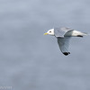 Mouette tridactyle.   Très rare, automne et hiver _ Black-legged Kittiwake. Very rare, fall and winter.