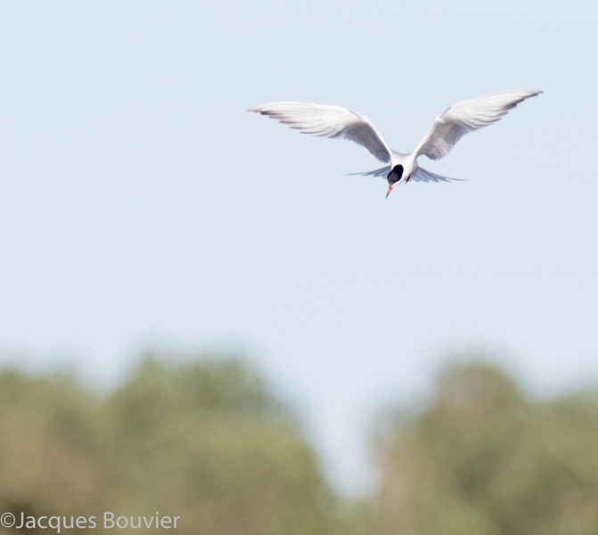 Sterne pierregarin.  Commun, printemps-automne.  Nicheur _  Common Tern.  Common, spring-fall.  Breeds.