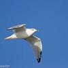Goéland à bec cerclé 2012.  Commun, printemps-automne.  Rare l'hiver.  Nicheur  _ Ring-billed Gull.  Common, spring-fall.  Rare in winter.  Breeds.