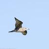 Goéland argenté.  Commun du printemps à l'automne; peu commun durant l'hiver.  Nicheur _  Herring Gull.  Common, spring to fall; uncommon in winter.  Breeds.