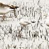 Mouette rieuse adulte (au centre) en plumage d'hiver au marais Hillman (sud-est de Pointe-Pelée) le 18 mai 2011. Notez son bec rougeâtre qui est plus gros que celui de la mouette de Bonaparte de premier hiver dans le coin droit en bas.<br /> D'après Bruce Di Labio Il y a au moins 4 mentions de cette espèce en plumage d'hiver en novembre dans la région de Cornwall.<br /> Extrêmement rare, automne.<br /> <br /> An adult winter-plumaged Black-headed Gull (in centre) at Hillman Marsh on 18 May 2011. Note reddish bill which is a bit thicker than that of the first winter Bonaparte's Gull at bottom right. Bruce Di Labio mentions that 4 November records of winter plumaged adults exist for the Cornwall area.<br /> Extremely rare.