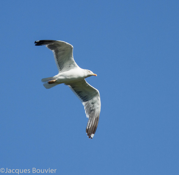 Goéland brun. Peu commun, printemps, automne et hiver  - Lesser Black-backed Gull. Uncommon, spring, fall and winter.