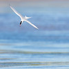 Sterne pierregarin.  Commun, printemps-automne.  Nicheur _  Common Tern.  Common, spring-fall.  Breeds.