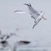 Mouette de Bonaparte. Peu commun, printemps et automne _ Bonaparte's Gull.  Uncommon, spring and fall.
