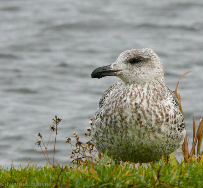 Goéland marin juvénile au Parc Confédération à Hawkesbury le 16 novembre 2008.  Peu commun, printemps, automne et hiver.  Rare l'été.<br /> <br /> A juvenile Great Black-backed Gull at Confederation parc in Hawkesbury on 16 November 2008.  Uncommon, spring, fall and winter.  Rare in summer.