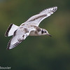 Mouette de Bonaparte. Peu commun, printemps et automne _ Bonaparte's Gull.  Uncommon, spring and fall.