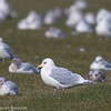 Goéland arctique.  Peu commun, automne au printemps _ Iceland Gull.  Uncommon, fall to spring.