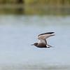 Guifette noire.  Peu commun, printemps-automne. Nicheur _ Black Tern.  Uncommon spring to fall.  Breeds.