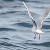 Mouette pygmée adulte en plumage internuptial avec pointe des ailes blanche et dessous des ailes gris sombre à Tadoussac QC le 21 septembre 2013.<br /> <br /> Extrêmement rare à l'automne.<br /> <br /> Autrefois très rare et observé en août et septembre près du barrage hydroélectrique à Cornwall.  Huit vus le 30 septembre 1990 et 6 le 25 septembre 1991 (Bruce Di Labio).<br /> <br /> Adult Little Gull in nonbreeding plumage with pale wingtips and dark underwing at Tadoussac QC on 21 September 2013.<br /> <br /> Extremely rare in fall.<br /> <br /> Once very rare, it appeared anytime from early August on, below the Cornwall power dam.  Have peaked at the end of September.  Eight were observed on 30 September 1990 and six on 25 September 1991. (Ontario Birds Volume 13, Number 1, April 1995, p. 11-22)
