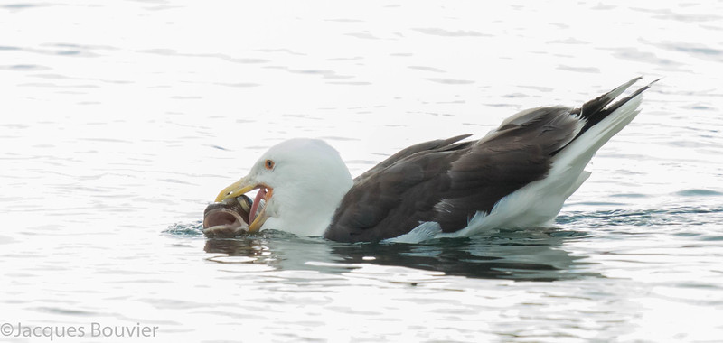 Goéland marin. Peu commun, automne au printemps . Rare l'été.  Nicheur _ Great Black-backed Gull.  Uncommon, fall to spring. Rare in summer.  Breeds.
