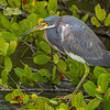 Aigrette tricolore en Floride le 6 février 2014.  <br /> <br /> Extrêmement rare au printemp.<br /> <br /> <br /> A Tricolored Heron in Florida on 6 February 2014. <br /> <br /> Extremely rare in spring.