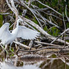 Aigrette bleue juvénile en Floride le 12 février 2014.<br /> <br /> Notez les pattes vert terne pâle et la pointe des ailes noire, distinctive mais souvent difficile à voir.<br /> <br /> Très rare à l'automne.<br /> <br /> <br /> A juvenile Little Blue Heron in Florida on 12 February 2014.<br /> <br /> Note pale, dull green legs and small, dark wingtips which are distinctive but difficult to see.<br /> <br /> Very rare in fall.
