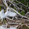 Aigrette bleue juvénile en Floride le 12 février 2014.<br /> <br /> Notez les pattes vert terne pâle et la pointe des ailes noire, distinctive mais souvent difficile à voir.<br /> <br /> Très rare à l'automne.<br /> <br /> <br /> A juvenile Little Blue Heron in Florida on 12 February 2014.<br /> <br /> Note pale, dull green legs and small, dark wingtips which are distinctive but difficult to see.<br /> <br /> Very rare in fall.