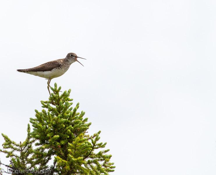 Chevalier solitaire adulte photographié dans son aire de nidification au Labrador juste à l'est de Schefferville QC le 4 juillet 2012. <br /> <br /> Peu commun, printemps-automne.<br /> <br /> Niche dans un endroit ouvert de la forêt boréale ou il ponds ses oeufs dans un vieux nid d'un passereau (Merle d'Amérique, Quiscale rouilleux etc.) situé dans un conifère.<br /> <br /> <br /> An adult SOLITARY SANDPIPER photographed on its breeding grounds in Labrador just east of Schefferville QC on 4 July 2012. <br /> <br /> Nests in an open area of the boreal forest where it often lays its eggs in an old passerine nest (American Robin, Rusty Blackbird etc.) in an evergreen.<br /> <br /> Uncommon, spring-fall.