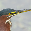 Héron vert adulte photographié en Floride le 10 février 2014. <br /> <br /> Commun, printemps-automne.  Nicheur.<br /> <br /> <br /> An adult Green Heron photographed in Florida on 10 February 2014. <br /> <br /> Common, spring-fall.  Breeds.