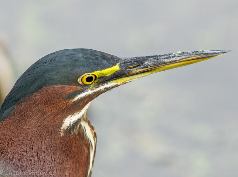 Héron vert adulte photographié en Floride le 10 février 2014. <br /> <br /> Commun, printemps-automne.  Nicheur.<br /> <br /> <br /> An adult Green Heron photographed in Florida on 10 February 2014. <br /> <br /> Common, spring-fall.  Breeds.
