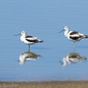 Avocette d'Amérique en plumage d'hiver au Texas le 4 mars 2012.<br /> <br /> Extrêmement rare à l'automne.  <br /> <br /> Mark Gawn a trouvé un individu à la lagune de Chesterville le 14 septembre 2003; celui-ci était présent au moins jusqu'au 20 septembre.  Une avocette immature a ausi été vue par M. Gawn à la lagune de Winchester le 28 septembre 2003. (Photos?).<br /> <br /> <br /> American Avocet in winter plumage in Texas on 1 March 2012.<br /> <br /> Extremely rare  in fall.<br /> <br /> Mark Gawn found one at the Chesterville sewage lagoons on 14 September 2003;  the same bird was seen by others until at least 20 September.  An immature avocet was also seen by Mark Gawn at the Winchester sewage lagoons on 28 September 2003. (Photos?).