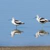 Avocette d'Amérique en plumage d'hiver au Texas le 4 mars 2012.<br /> Extrêmement rare.<br /> <br /> American Avocet in wintet plumage in Texas on 1 March 2012.<br /> Extremely rare.