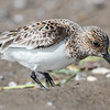 Bécasseau sanderling.   Peu commun, printemps et automne _  Sanderling.  Uncommon, spring and fall.