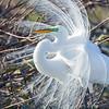 Grande aigrette. Commun, printemps-automne. Nicheur _ Great Egret. Common, spring-fall.  Breeds.