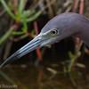 Aigrette bleue adulte en Floride le 12 février 2014.<br /> <br /> Notez le bout de son bec qui est légèrement courbé vers le bas et la large base du bec qui est bleuâtre. <br /> <br /> Très rare à l'automne.<br /> <br /> <br /> An adult Little Blue Heron in Florida on 12 February 2014.<br /> <br /> Base of bill is thick and blue, and tip is slightly downcurved.<br /> <br /> Very rare in fall.