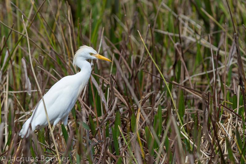 Héron garde-boeufs adulte en Floride le 10 février 2014.<br /> <br /> Très rare à l'automne.<br /> <br /> <br /> An adult Cattle Egret in Florida on 10 February 2014.<br /> <br /> Very rare in fall.