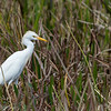 Héron garde-boeufs adulte en Floride le 10 février 2014.<br /> <br /> Très rare à l'automne.<br /> <br /> <br /> An adult Cattle Egret in Florida on 10 February 2014.<br /> <br /> Very rare in fall.