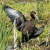 Ibis falcinelle étale ses ailes afin de réduire la température de son corps durant cette journée très chaude du 28 juillet 2011 au marais du chemin Richmond à Cornwall.  <br /> <br /> Extrêmement rare, printemps-automne.<br /> <br /> Les experts ont finalement déterminé que cet individu ne pouvait pas être identifié à l'espèce.  Donc  il devient un Ibis sp. , soit un Ibis falcinelle ou Ibis à face blanche.<br /> <br /> GLOSSY IBIS spreading its wings at the Richmond road marsh near Cornwall in order to cool down during this very hot 28 July 2011.<br /> <br /> Extremely rare, spring-fall.<br /> <br /> Experts finally determined that this individual could not be identified beyond Ibis sp. Therefore it is either a Glossy or a White-faced Ibis.