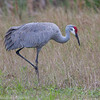 Grue du Canada adulte en Floride le 7 février 2014.<br /> <br /> Peu commun, printemps-automne; rare l'hiver. Nicheur.<br /> <br /> An adult Sandhill Crane in Florida on 7 February 2014. <br /> <br /> Uncommon, spring-fall;  rare in winter.  Breeds.